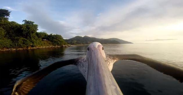 Video: un Pellicano si filma in volo con una GoPro