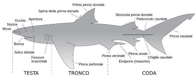 iSharkFin, il software che identifica gli squali